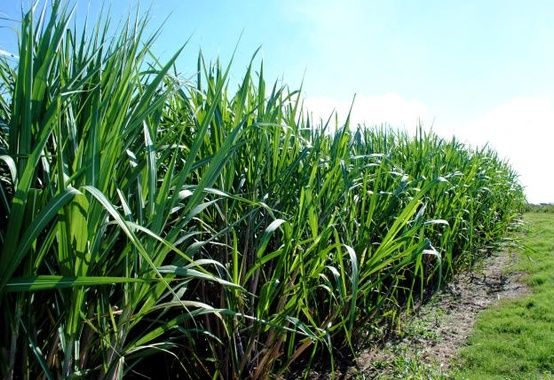 BNDES will support sugar and alcohol sector to face pandemic